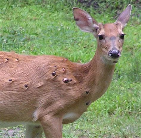 Pictures Of by Pictures Of Deer Deformities