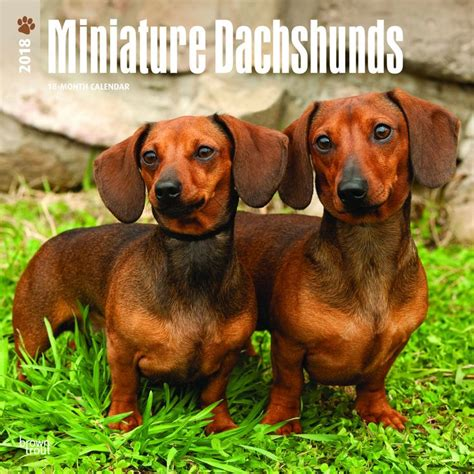 miniature dachshund puppies indiana best 20 miniature dachshunds ideas on
