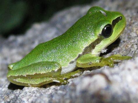 imagenes de ranitas verdes hyla arborea ranita de san antonio