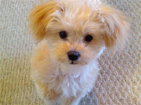 9 interesting facts about maltipoos animals zone image gallery maltipoo dogs