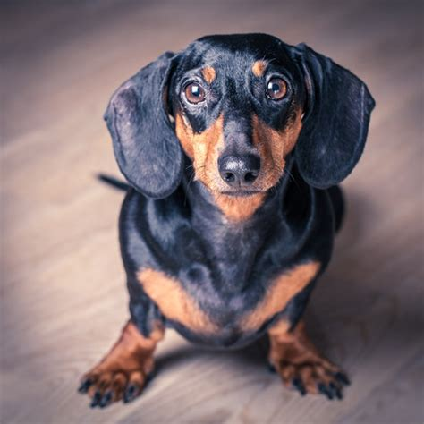 dachshund pictures all about dachshunds popsugar pets