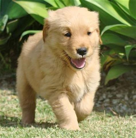 golden retriever big bone golden retriever puppy sold 1 month adorable big bone golden retriever from subang