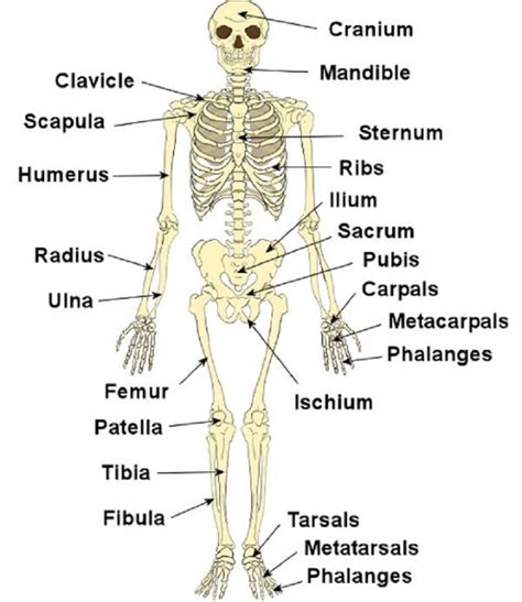 detailed skeletal system diagram diagrams of the skeletal system diagram site