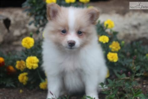 pomeranian near me pomeranian puppy for sale near york pennsylvania 0c6cda99 8dd1
