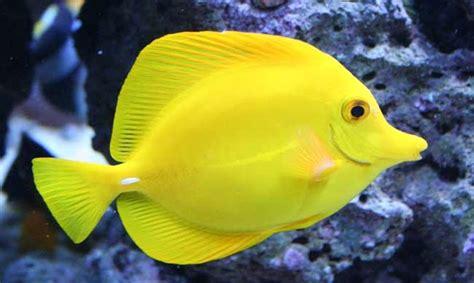 Circo Kuning ikan laut hias berwarna kuning cerah sosboks