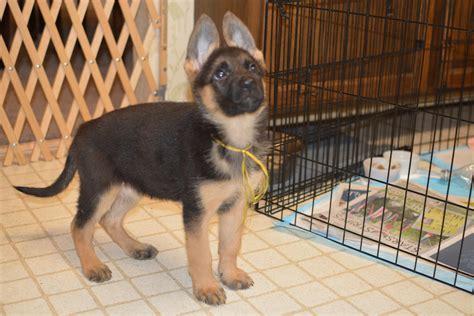 9 week german shepherd puppy how much should a 9 week german shepherd weight 1001doggy
