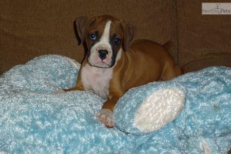 boxer puppies for sale seattle boxer puppy for adoption near seattle tacoma washington 7eab9392