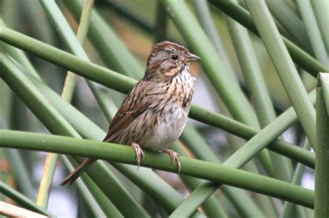 lincoln s sparrow melospiza lincolnii