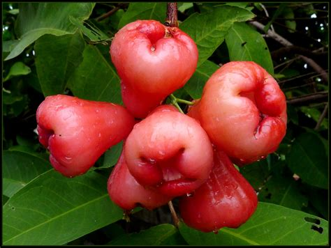 apple thailand chompoo in thailand rose apple or wax apple
