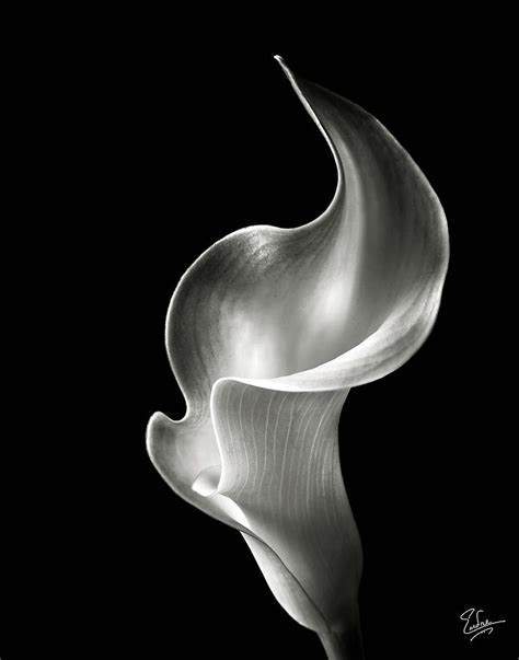 flame calla lily in black and white photograph our home pinterest calla lilies flowers