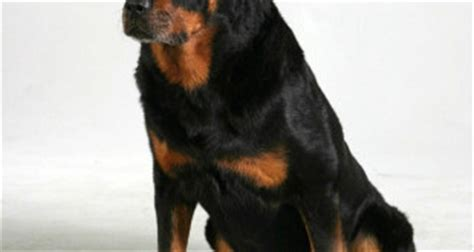 rottweiler aggression rottweiler information archives page 3 of 4 rottweiler puppies for sale