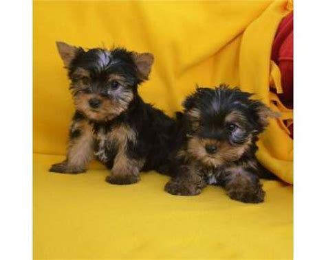 yorkie pups free to home free puppies home to breeds picture