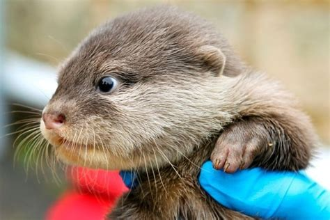 cute baby otters born  perth zoo  pics amazing