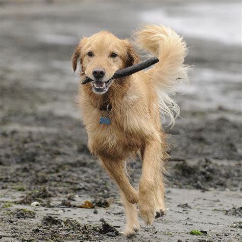 golden retriever undercoat breed selector which breed is best for me town country magazine uk