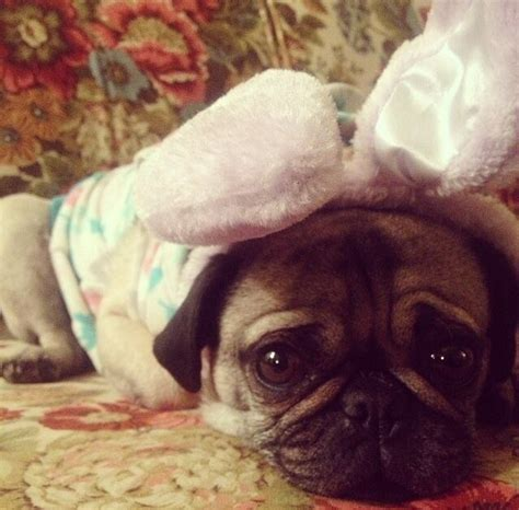 easter pug pictures 13 pugs who are ready for unbelievab ly