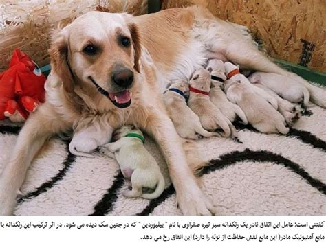 golden retriever giving birth to puppies golden retriever giving birth golden retriever gives birth to incredubly green