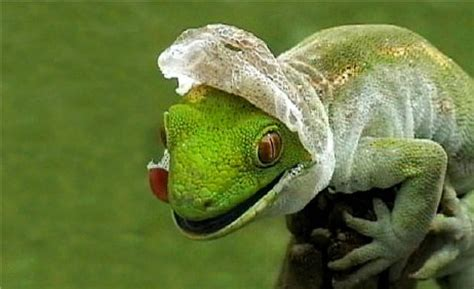 Do Anoles Shed Their Skin do tortoises shed skin how to care for a tortoise