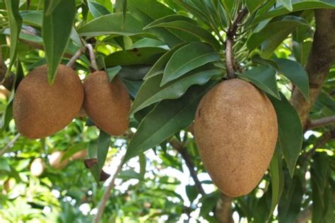 chiku fruit tree taste of the caribbean sapodilla fruit that feeds your
