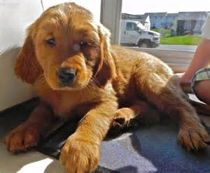 i want to buy a golden retriever puppy golden retriever puppies for sale in ms
