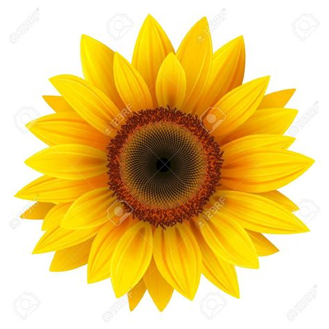 printable sunflower images sunflower stock photos pictures royalty free sunflower