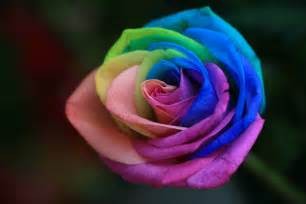 colored roses rainbow roses are special flowers for the