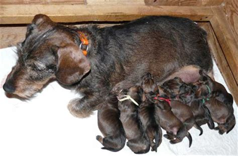 Nm Fc Elsa New 4 Tosca born to track two new litters of wirehaired