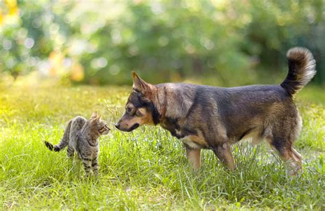 introducing a puppy to a cat introducing a cat to a choosing the right cat for you cats guide omlet uk