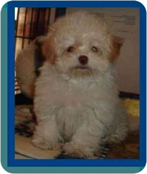 bichon mixed with pomeranian adeline adopted puppy berlin wi bichon frise pomeranian mix