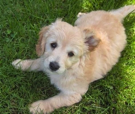 apricot golden retriever miniature goldendoodle breed information and pictures