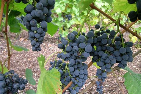 how to grow grapes rhs gardening