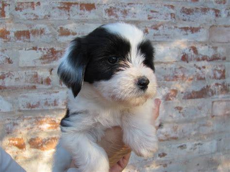 puppies puppies puppies ta tibetan terrier puppies tibetan terrier dogs truly s best friend