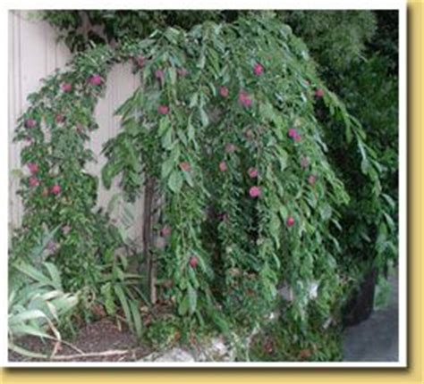 Patio Plum Tree by Would Lik An Ultra Fruit Tree Or Two Or Three