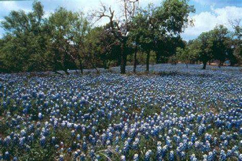 bluebonnets in kerrville picture of kerrville texas