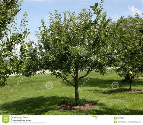 backyard apple orchard semi dwarf apple tree in backyard orchard stock photo