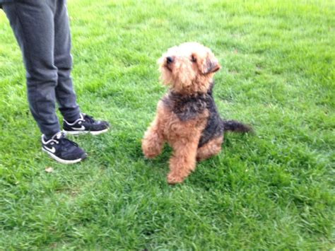 Welsh Terrier Puppies   Llanelli, Carmarthenshire   Pets4Homes