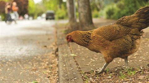 Backyard Chickens York Region Meaford To Allow Backyard Chicken Coops Yorkregion