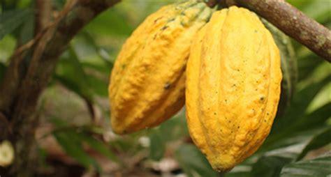 Bibit Kakao Sambung Pucuk bahan tanam kakao pusat penelitian kopi dan kakao indonesia