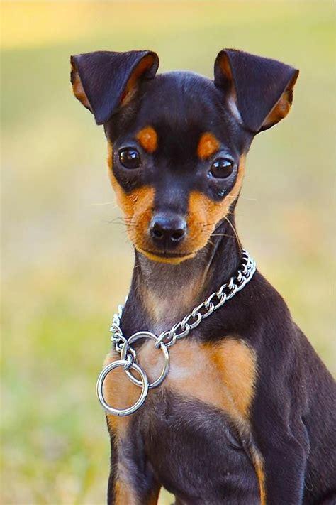 miniature doberman puppies best 25 miniature pinscher ideas on miniature doberman pinscher mini