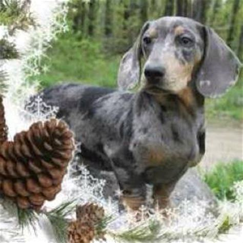 solid blue dachshund puppies for sale dachshund puppies for sale blue breeds picture