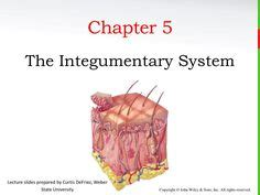 Chapter 5 The Integumentary System Worksheet Answers by Ted And Immune System On