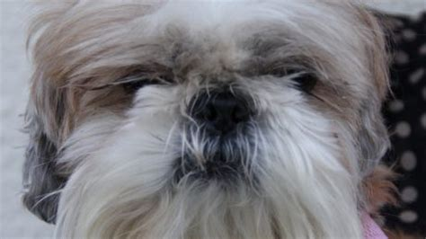 shih tzu upset stomach molly a four year boxer who had bald patches along both sides of back