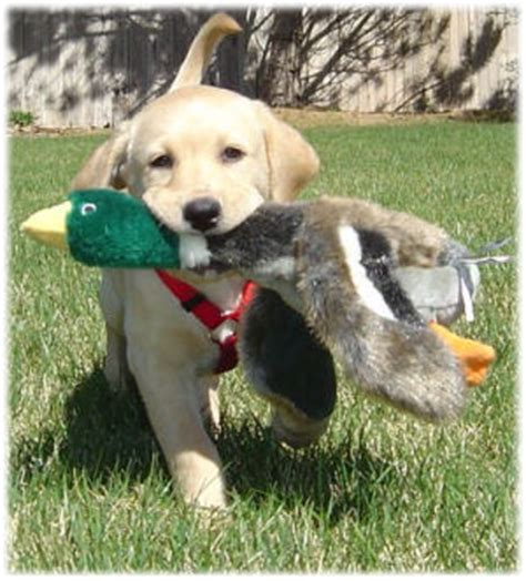 dogs for sale in maryland yellow labrador retriever puppies for sale in maryland