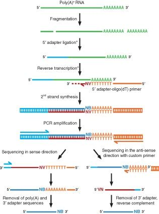 General Outline Of Oligo Dt Based 3 End Sequencing Protocols E G Download Scientific Template Switching Oligo
