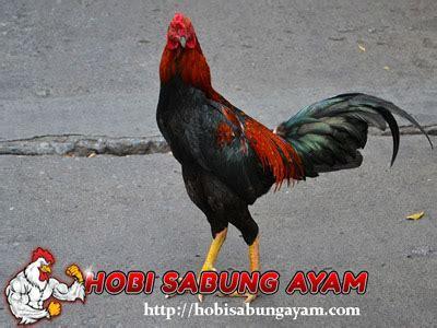 Minyak Ikan Untuk Ayam Bangkok bulu ayam bangkok aduan yang sehat dan mengkilap