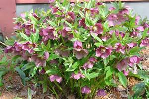 lenten roses perk up the february garden what grows there hugh conlon horticulturalist