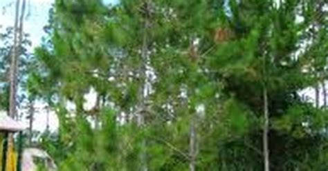 cluster exeter 9 tree loblolly pine tree cluster common tree choices pine tree planting and gardens