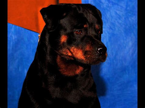 silverhill rottweilers rottweiler for sale by silverhill rottweilers american kennel club