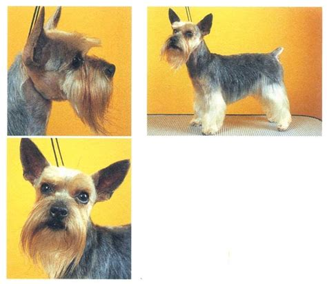 yorkie schnauzer cut picture of a yorkie with schnauzer cut schnauzer yorkie puppies puppies puppy pics