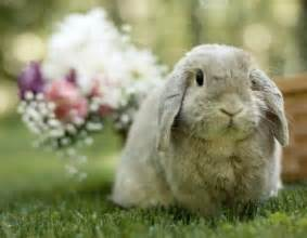 98 best images about floppy eared bunnies on pinterest cute baby bunnies dutch rabbit and i want