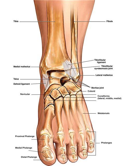 ankle skeleton diagram ankle bones anatomy human anatomy diagram